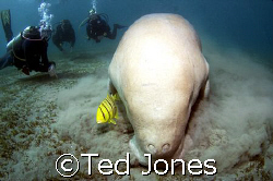 Dugong by Ted Jones 